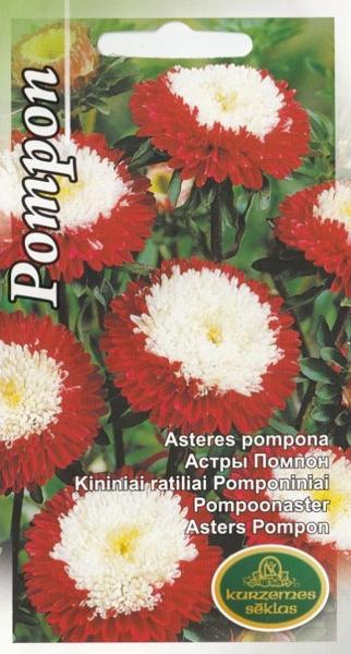 Asteres Pompona sarkanas ar baltu